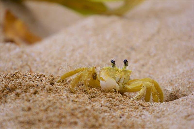 Krabbe im Sand lizenzfreies stockbild