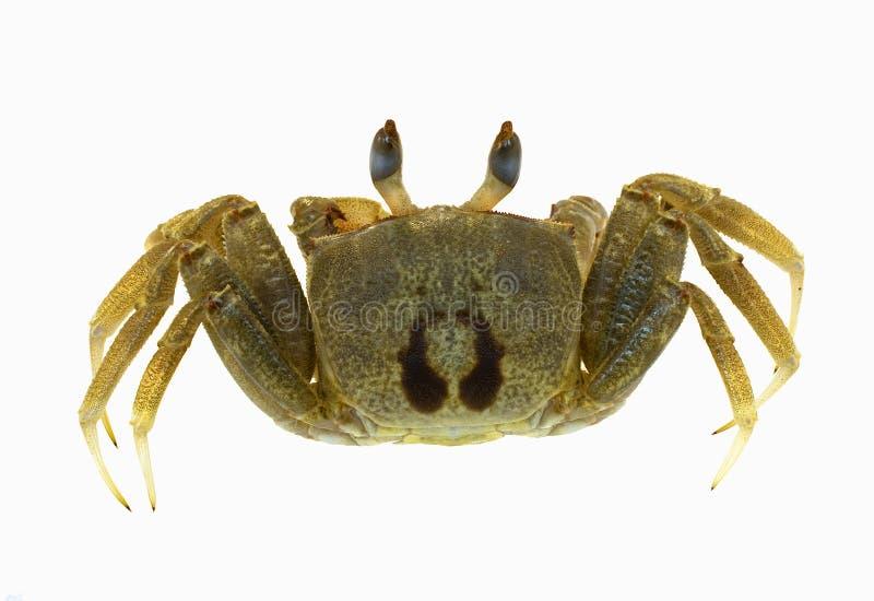Krabbe lokalisiert stockbilder