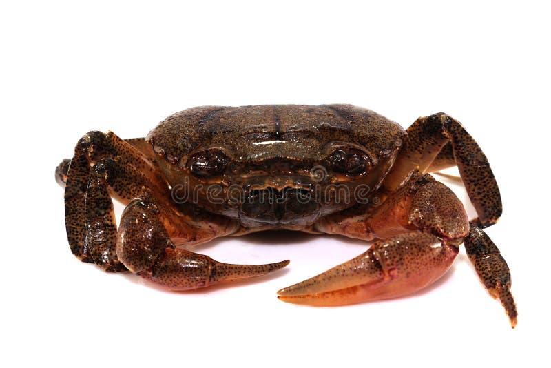 Krabbe lokalisiert auf weißem Hintergrund lizenzfreies stockfoto