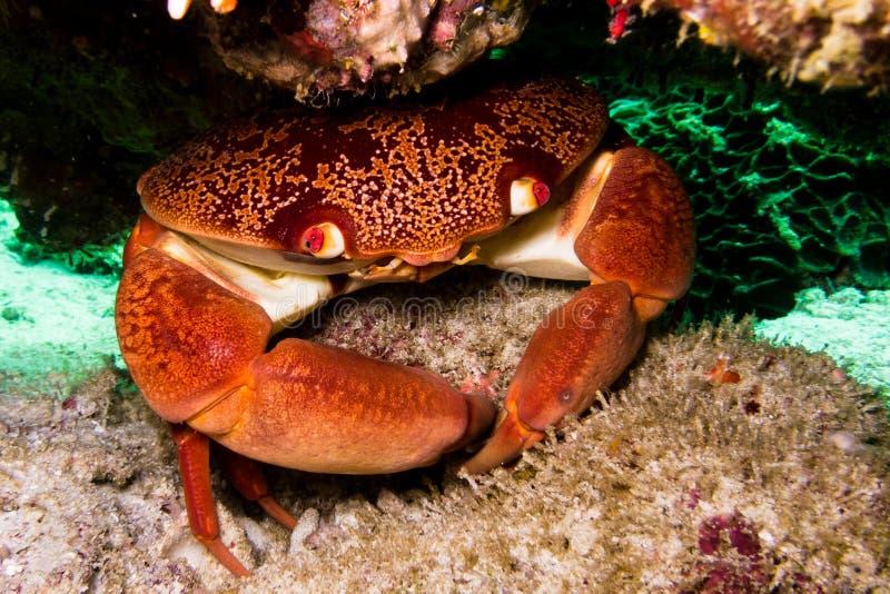 Krabbe unter einem Stein im Oman lizenzfreie stockfotos