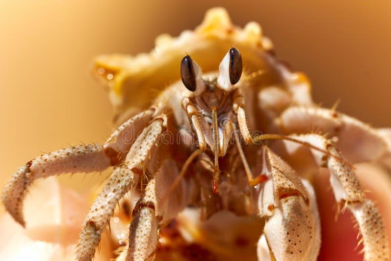 Krabbe vom Roten Meer stockfoto