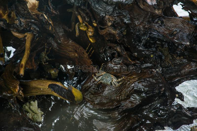 Krabben auf Felsen stockfotos