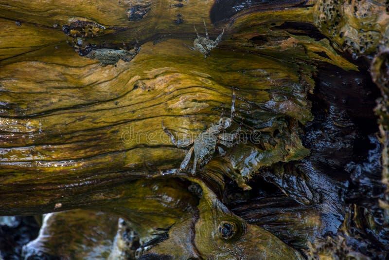 Krabben auf Felsen lizenzfreie stockfotos