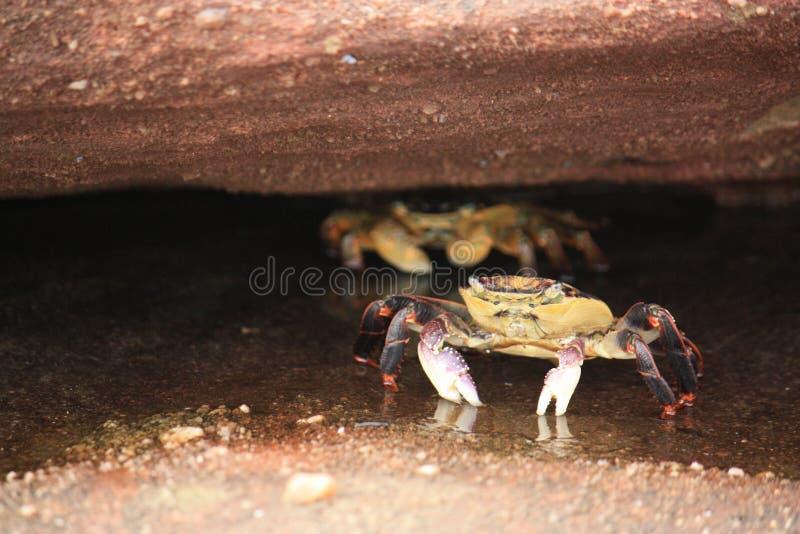 Krabben die wachten te voorschijn te komen stock afbeeldingen