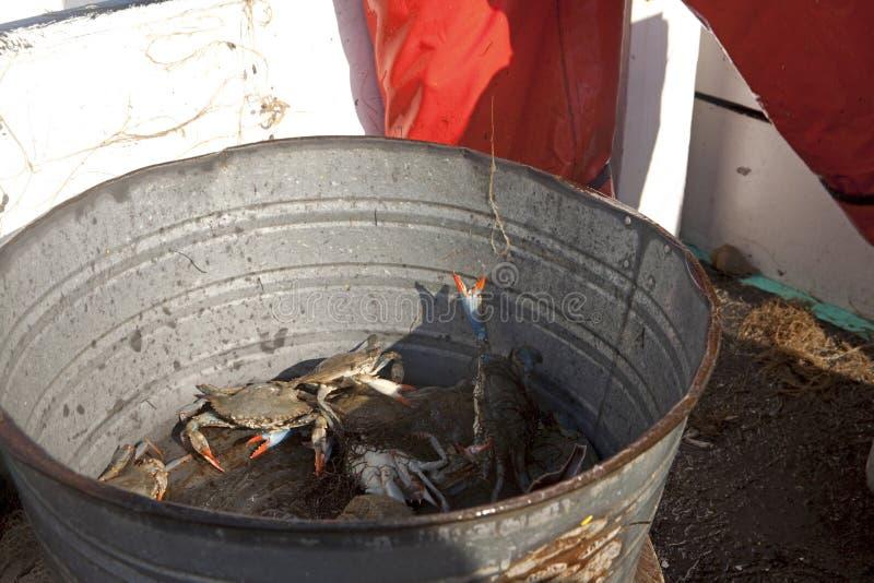 Krabben in einem Eimer stockfoto