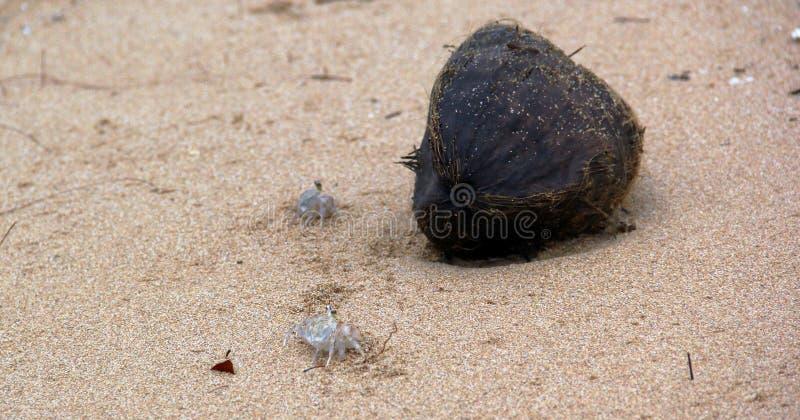 Krabben en een Kokosnoot stock foto