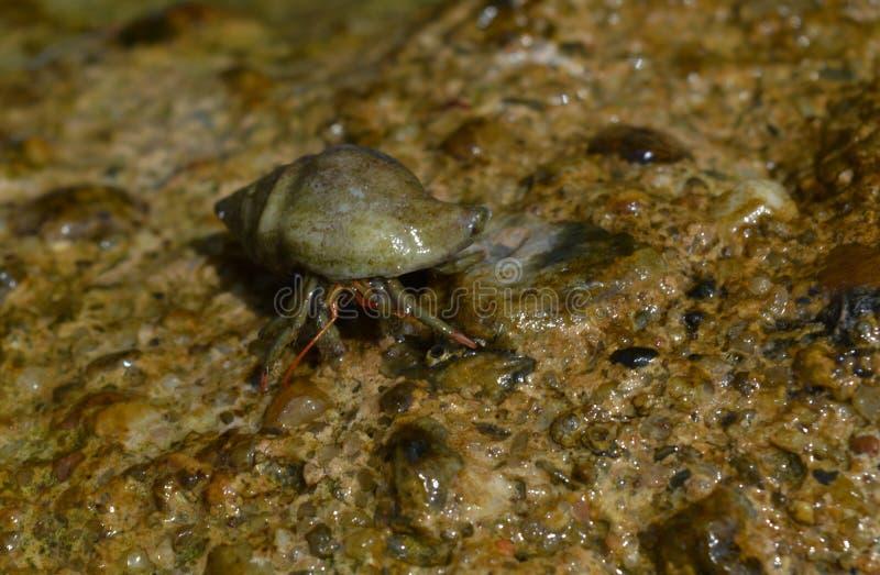 Krabben op de rots stock afbeelding