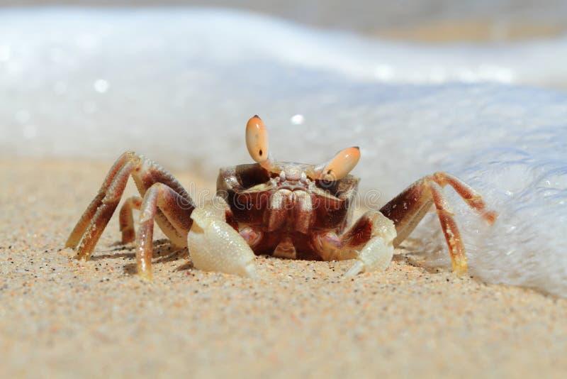 Krabben-Porträt auf tropischem Strand, Sulawesi stockfoto