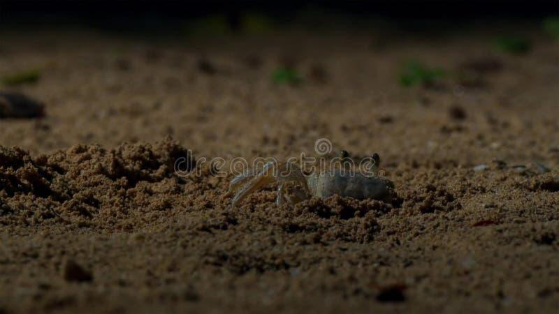 Krabbor väntar på de unga hatchlingsna för hawksbillsköldpaddan att komma till dem briten royaltyfria foton