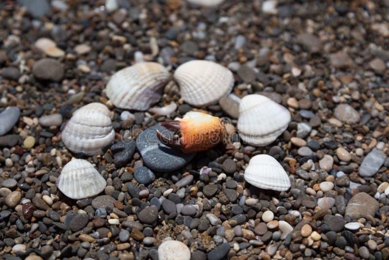 Krabklauw en shells op de kust royalty-vrije stock afbeelding