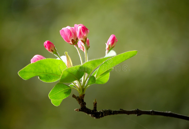 krabowe jabłko kwiaty zdjęcia royalty free