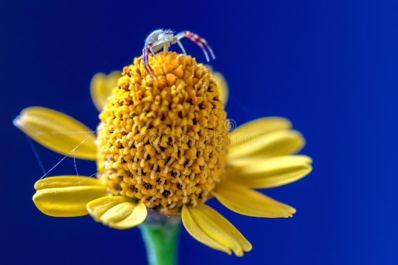 Krabspin die bovenop een gele wildflower lopen royalty-vrije stock afbeelding