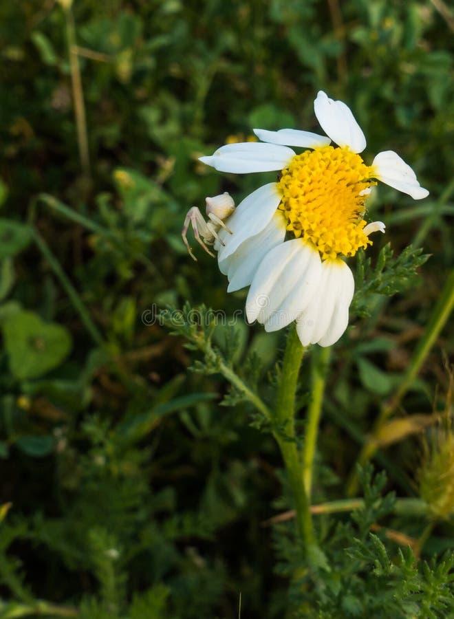 Krabspin op witte en gele bloem royalty-vrije stock fotografie
