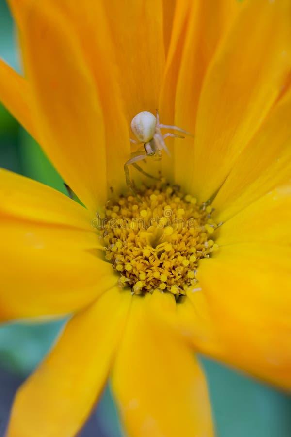Kraby pajęcze czekające na zdobycz ukrytą w żółtym kwiacie obraz stock