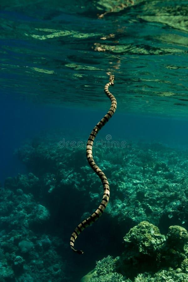 Krait legato del mare che respira fotografia stock