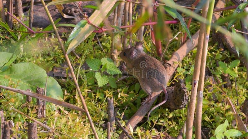 kraj mysz która ucieka przez trawy zdjęcia royalty free