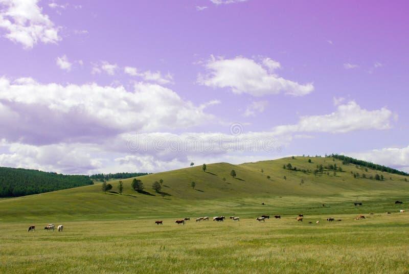 Kraj strony krajobraz z niebieskim niebem, chmurami i polem z drzewami, Stado krowy w paśniku na zielonej trawie przy wzgórzami zdjęcia royalty free