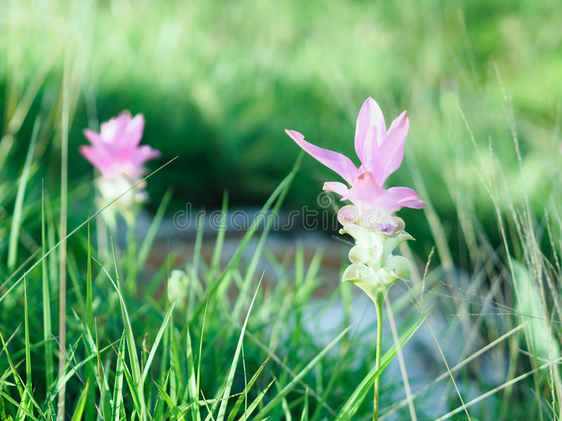 KRAJIAO flower , 3 month of year , we can see her royalty free stock image