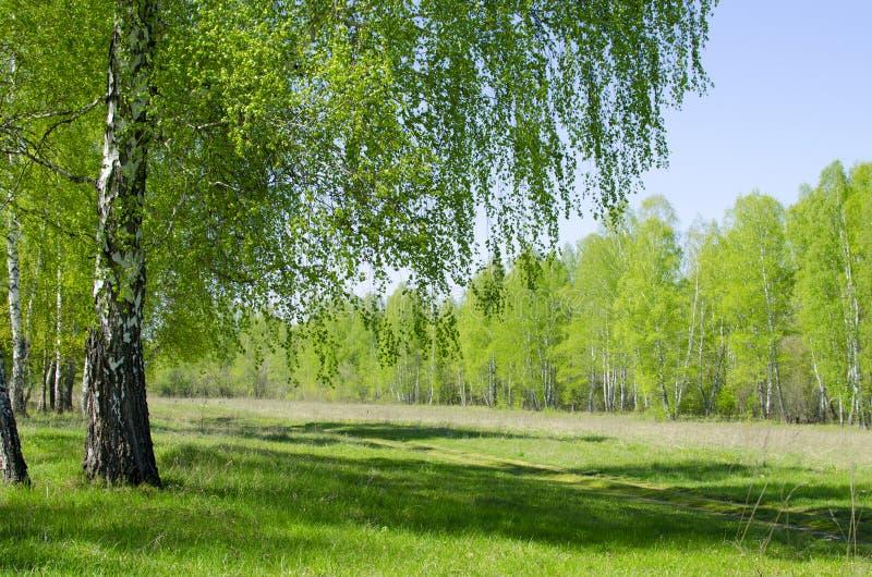 Krajobraz brzozy drewno w Maju fotografia royalty free