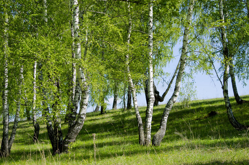 Krajobraz brzozy drewno w Maju zdjęcie stock
