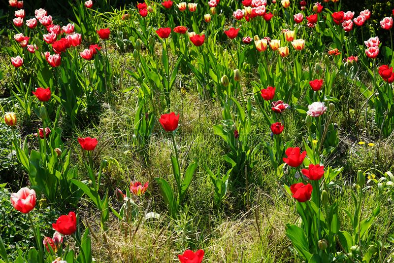 Krajobraz czerwoni biali tulipany zdjęcia royalty free
