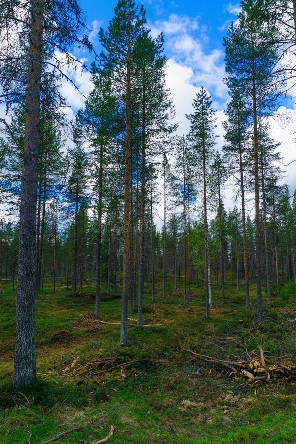 Krajobraz drzewa i las w Lapland obrazy royalty free