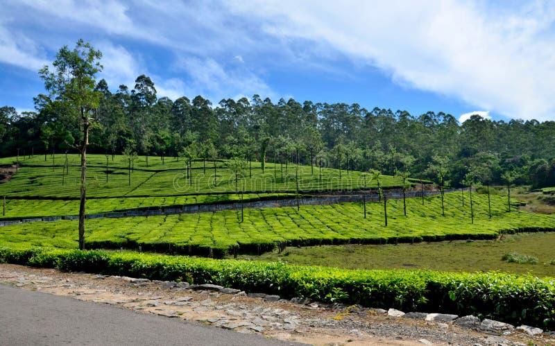 Krajobraz - herbata zdjęcia royalty free