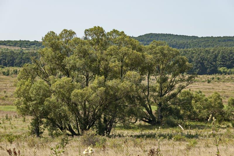 Krajobraz lato natura z zieloną halizną, kwiatem, Białą wierzbą lub Salix alba drzewem, lasową i dużą, Sredna Gora góra zdjęcie stock