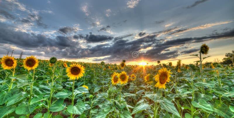 Krajobraz pole z słonecznikiem zdjęcie stock