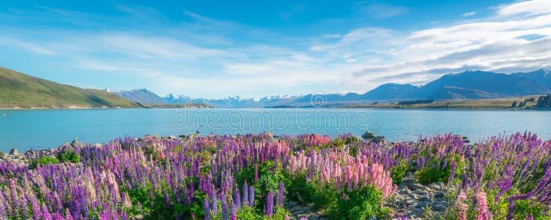 Krajobraz przy Jeziornym Tekapo łubinu polem w Nowa Zelandia obraz stock