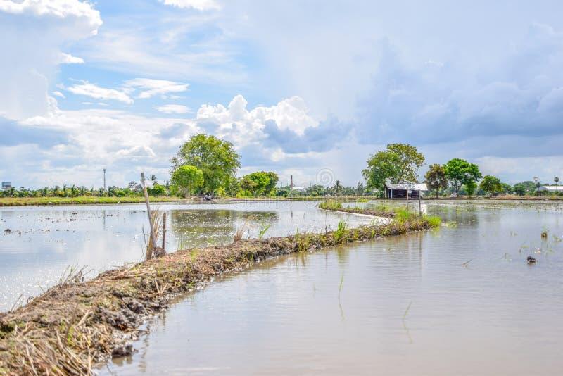 Krajobraz ryżu pole w popołudniowej, Pięknej naturze w wsi przy Tajlandia, Tajlandzki rolnictwo i Tajlandzcy ryżowi pola obraz royalty free