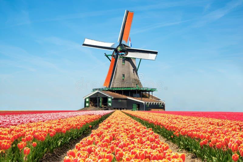 Krajobraz tulipany i wiatraczki w holandiach fotografia stock