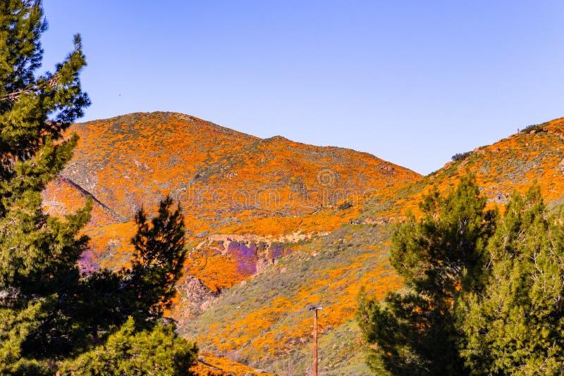 Krajobraz w piechura jarze podczas superbloom, Kalifornia maczki zakrywa doliny halne granie i, Jeziorny Elsinore, zdjęcie royalty free