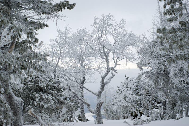 Krajobraz z śnieżystymi drzewami na zboczu góry fotografia stock