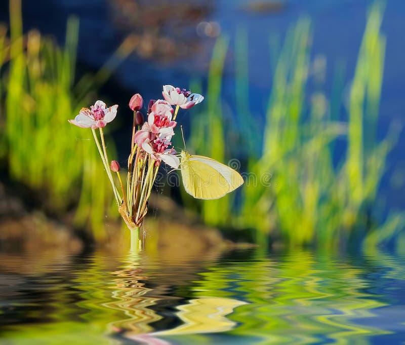 Krajobraz z żółtych motyl menchii białym kwiatem i odbiciem obraz royalty free
