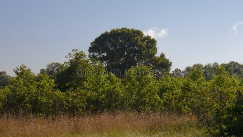 Krajobraz z bujny drzewo i czarna jagoda krzakami fotografia stock