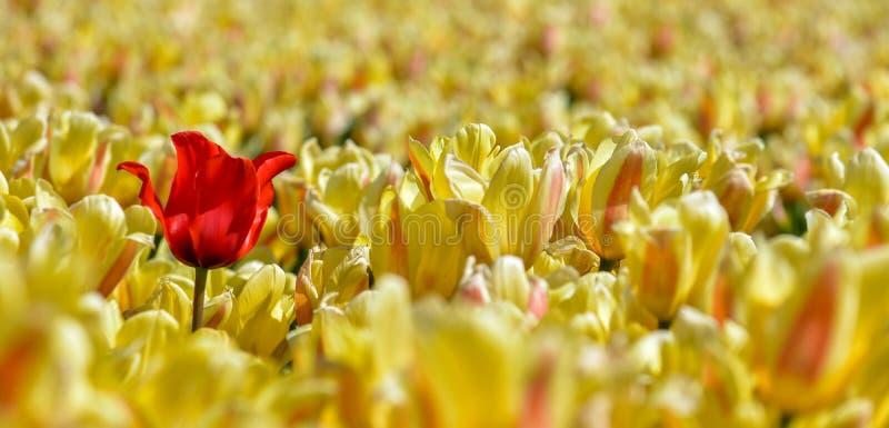 Krajobraz z jaskrawym czerwonym tulipanem w polu żółci tulipany zdjęcie stock