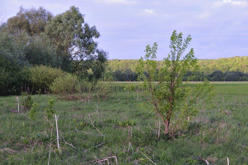 Krajobraz z młodym drzewem w jesieni polu Mały zielony drzewo i sucha trawa w przedpolu Las na wzgórzach na horyzoncie zdjęcie royalty free