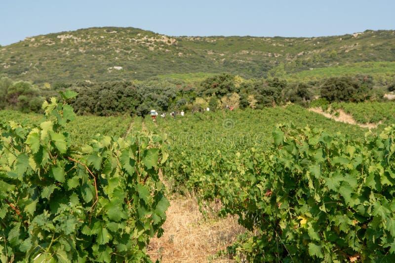 Krajobraz z pracownikami zbiera dojrzałe białego wina winogron rośliny zdjęcia royalty free