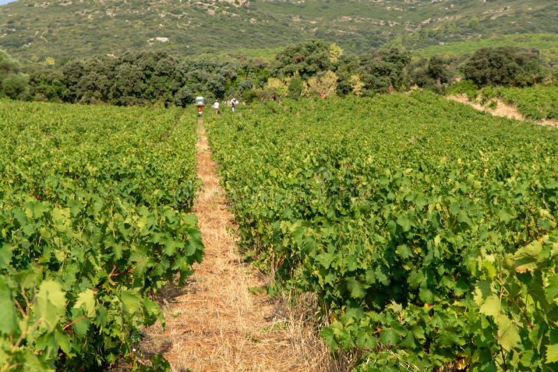 Krajobraz z pracownikami zbiera dojrzałe białego wina winogron rośliny na winnicy w Francja, biały dojrzały muszkatołowego winogr obrazy stock