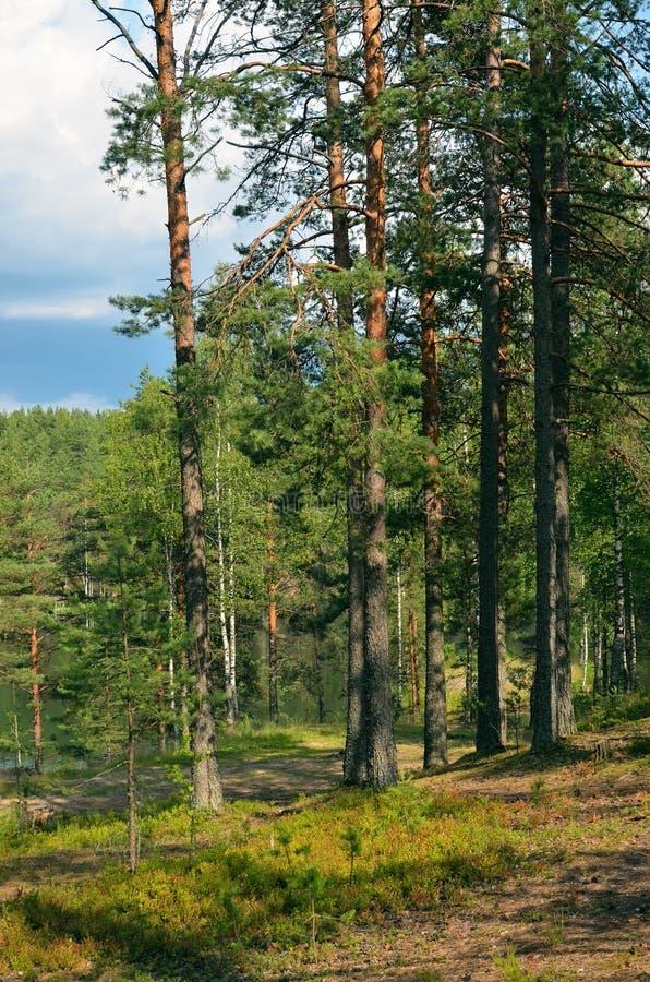 Krajobraz z sosnowym lasem obraz royalty free