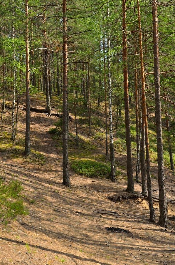 Krajobraz z sosnowym lasem fotografia stock
