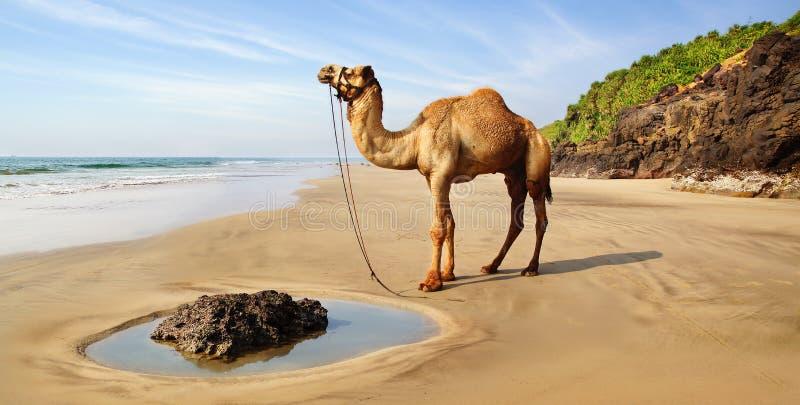 Krajobraz z wielbłądem, India obraz stock