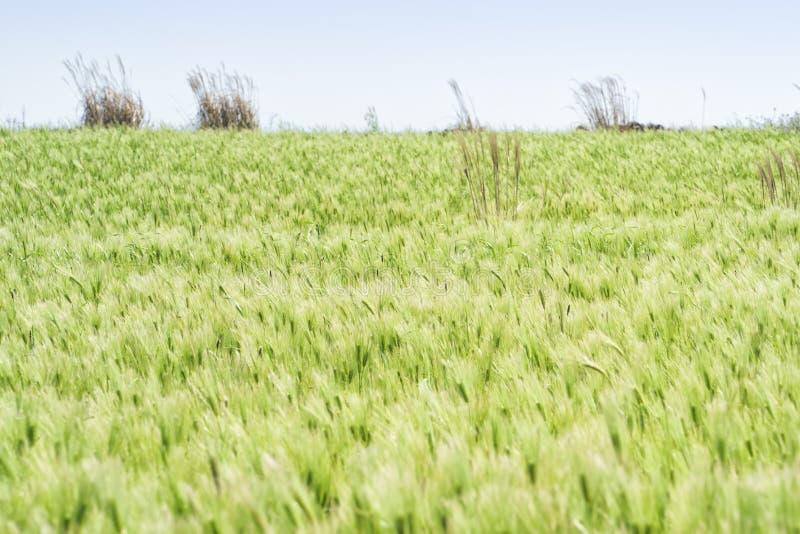 Download Krajobraz Zielony Jęczmienia Pole Obraz Stock - Obraz złożonej z korea, naturalny: 53787409