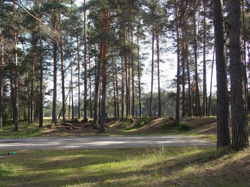 Krajobrazowa Lasowej drogi lata cienia drzew sosna Rozgałęzia się niebo fotografia stock
