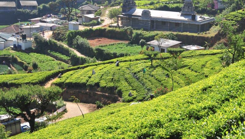 Download Krajobrazowe Górnicze Plantacje Herbaciane Obraz Stock - Obraz złożonej z świeży, przyrost: 53784011