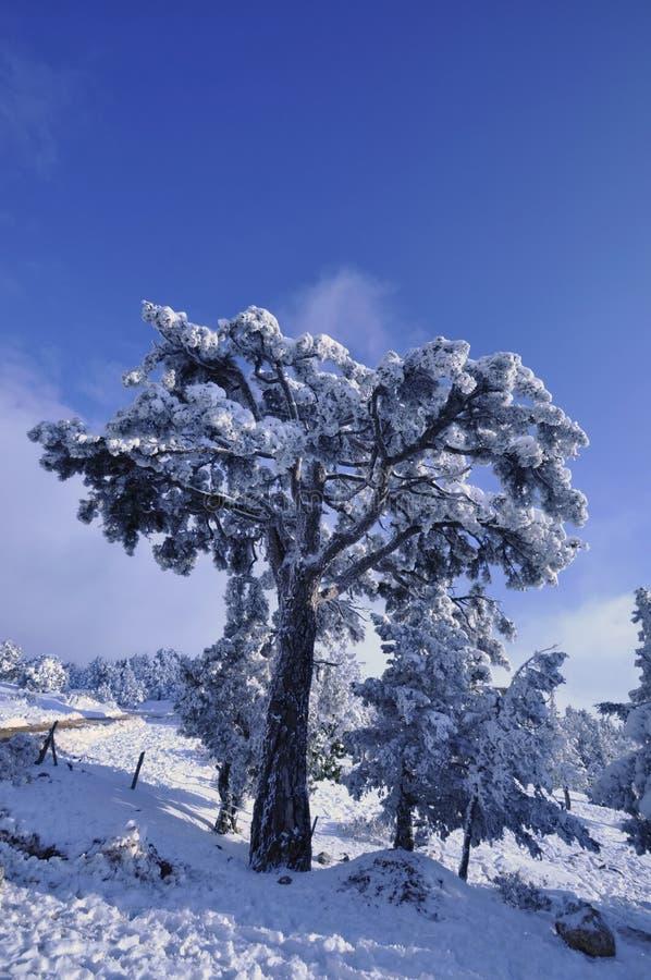krajobrazowi śnieżni drzewa zdjęcia royalty free