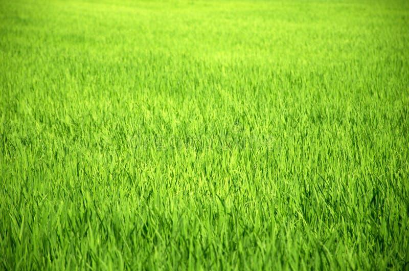 Krajobrazowi zieleni ryżowi pola są piękni zdjęcie stock