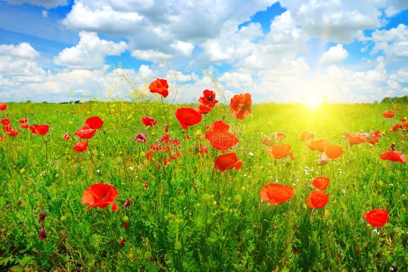 Krajobrazowy ładny zmierzch nad wiosna maczka polem fotografia stock
