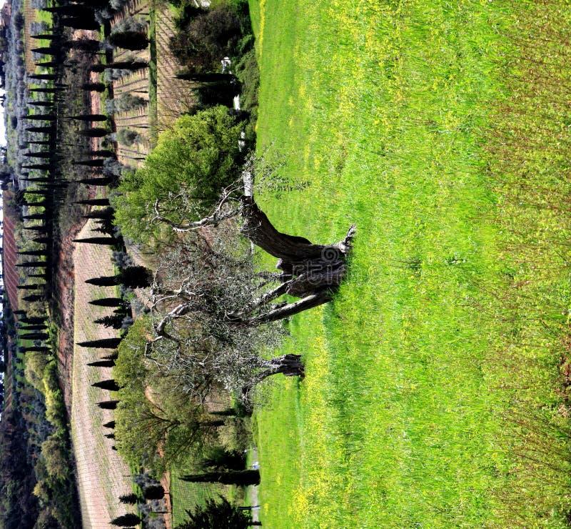 krajobrazowy drzewo oliwne Tuscany zdjęcia royalty free